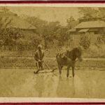 ANONIMO SEMINA DEL RISO, [Giappone, 1867]